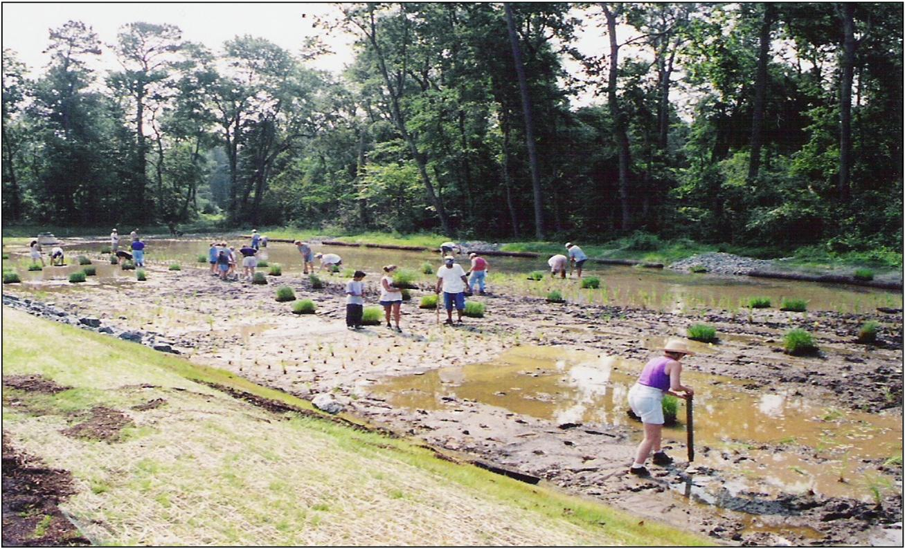 Volunteers planting plants in the wetlands.